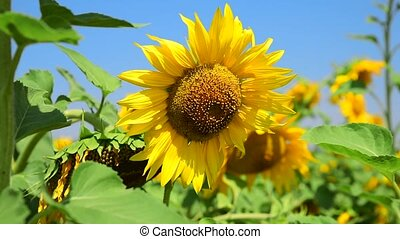 Blossoming sunflower in a field