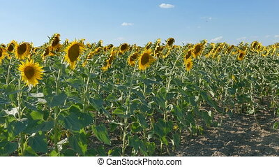 Blossoming sunflower plants in field