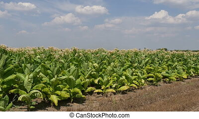 Blossoming tobacco plants in field with sky and clouds, late summer