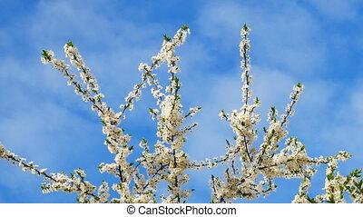 Blossoming top branches of Myrobalan plum or Prunus...