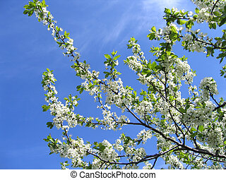 Blossoming tree with white flowers on sky background