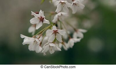 Blossoming tree branch with white flowers on bokeh green background.