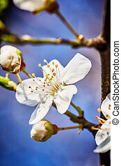 blossoming tree brunch with white flowers at spring