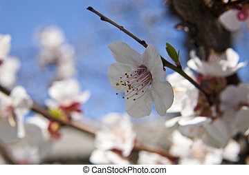 blossoming tree with apricots on blue sky background
