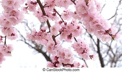 Blossoming tree with pink flowers - Branch of blossoming...