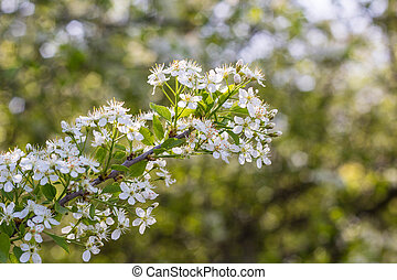 Blossoming tree with white flowers