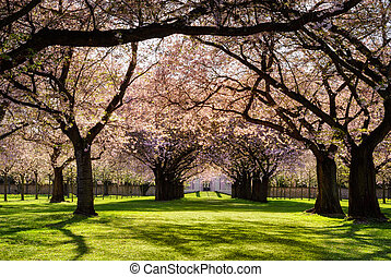 Park with lots of blossoming cherry trees on a lawn in warm evening sunlight