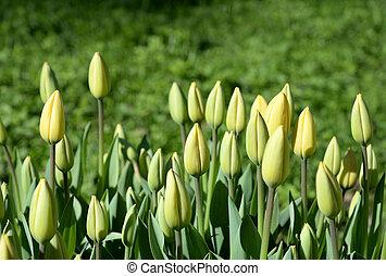 Blossoming tulips closeup.