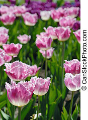 Blossoming tulips