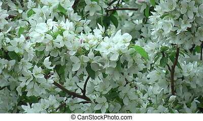 Blossoming white apple tree