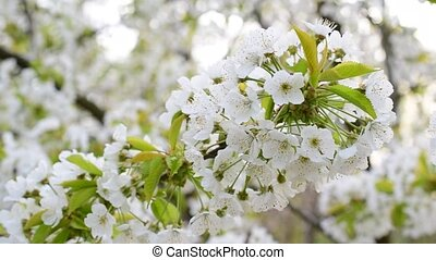 Blossoming white cherry tree flowers swaying in breeze