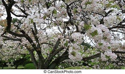 white cherry tree - Blossoming white cherry tree in Shinjuku...