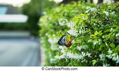 Blossoming white flowers and colorful beautiful flyes butterfly in slow motion.