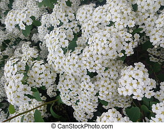 Blossoming white flowers decorative shrub. Small flowers cover all the branches of the plant.