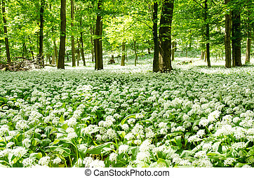 blossoming wild garlic meadow