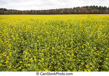 blossoming yellow mustard seed on field near forest in autumn color