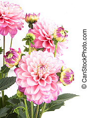 Blossoms of rose dahlia