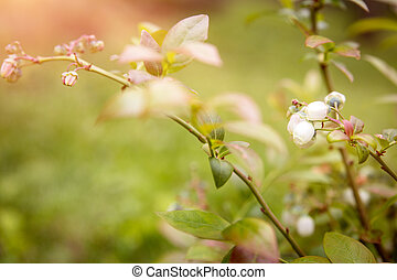 Blossoms of a blueberry bush, closeup from the plant in the garden