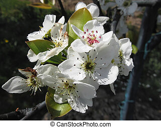 Blossoms of a pear tree in spring on dark background. Tuscany, Italy
