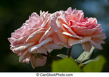 Blossoms of a pink rose on a sunny day in summer