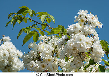 Blossoms of a white rambler rose on a sunny day in spring