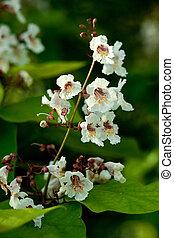 Blossoms of Indian bean tree, Catalpa bignonioides, closeup
