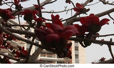 Blossoms of  Red Silk Cotton Tree