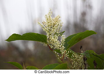 Japanese Knotweed - Blossoms of the Japanese Knotweed...