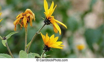 Blossoms of The Jerusalem artichoke (Helianthus tuberosus),...