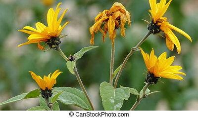 Blossoms of The Jerusalem artichoke (Helianthus tuberosus),...