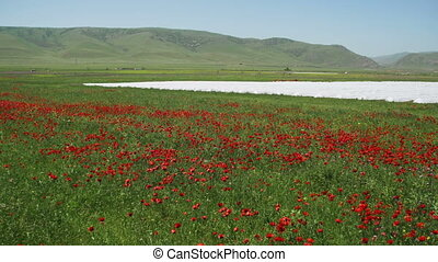 Blossoms Red Poppies in the Field Swaying in the Wind on...