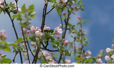 blossoms spring branch apple flower - tree branch apple...