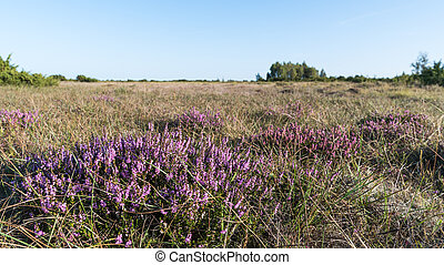 Blosson heather plants - Sunlit blossom heather plants in a ...