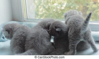 Blotched tabby kittens breed Scottish Fold. - Funny Blotched...
