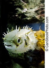 Blow Fish - Tetraodontidae - Blow fish swim underwater in...