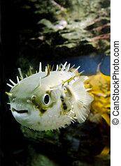 Blow Fish - Tetraodontidae - Blow fish swim underwater in...