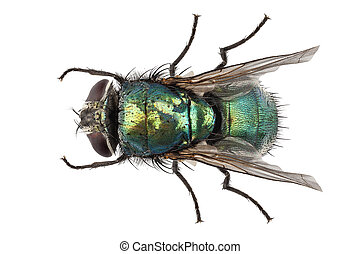 blow fly species Lucilia caesar in high definition with...