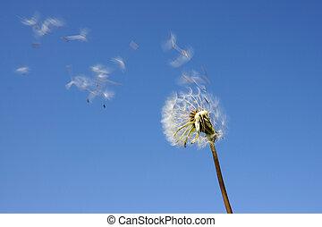 Blowball against blue sky