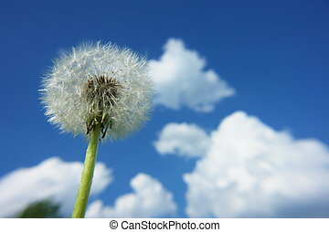 blowball dandelion clock at springtime