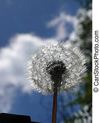 blowball., dandelion.