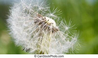 blowball, dandelion, macro