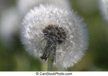 Blowball - Dandelion - Taraxacum in a macro shot
