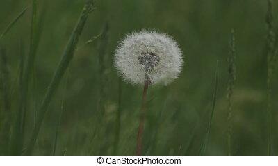 blowball in green grass - blowball macro  in green grass
