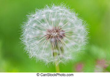 Blowball in Spring sunny meadow. Natural summer background.