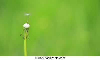 Blowball - Last parachute on a dandelion