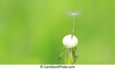 Blowball on a meadow