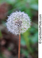 Blowball on blurred green background