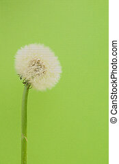 Blowball - The close-up of a ripe dandelion blossom,...