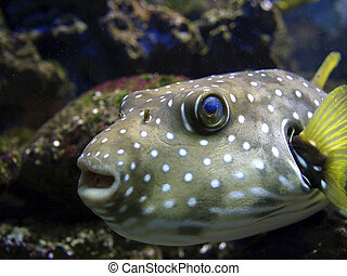 blowfish, detalle
