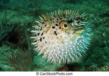 blowfish, o, pescados del soplador, océano